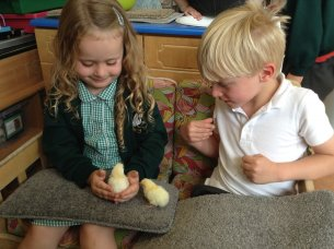 Chicks Arrival in Cherry Class